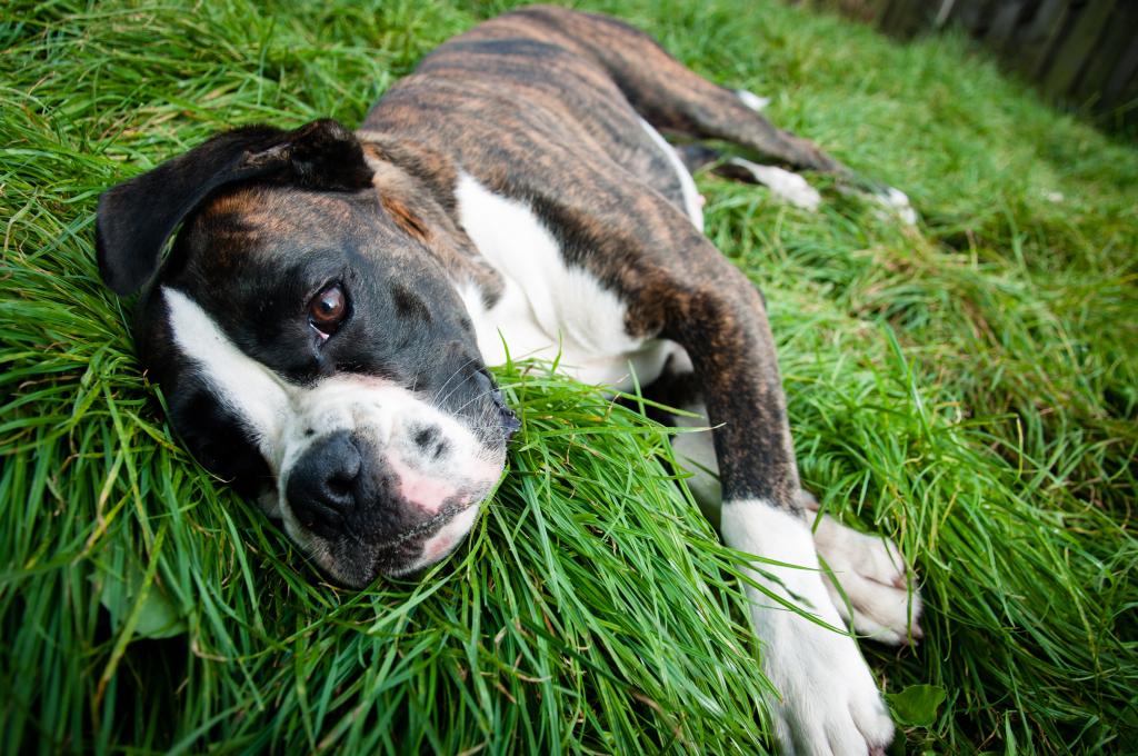 stockvault-boxer-dog-lying-on-grass138879  Servicii stockvault boxer dog lying on grass138879
