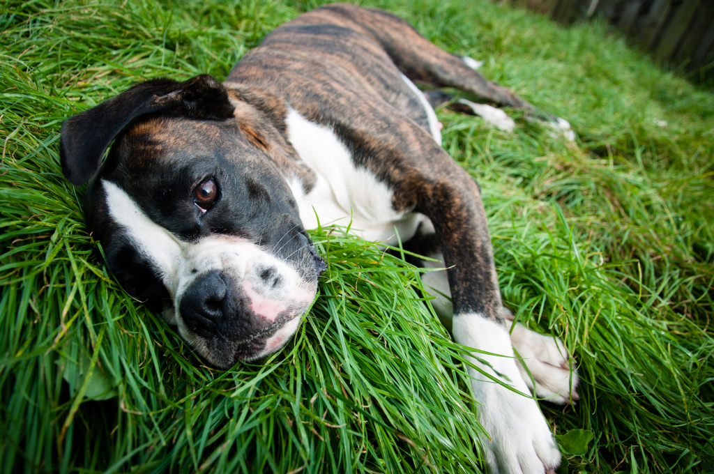 stockvault-boxer-dog-lying-on-grass138879  Servicii stockvault boxer dog lying on grass138879