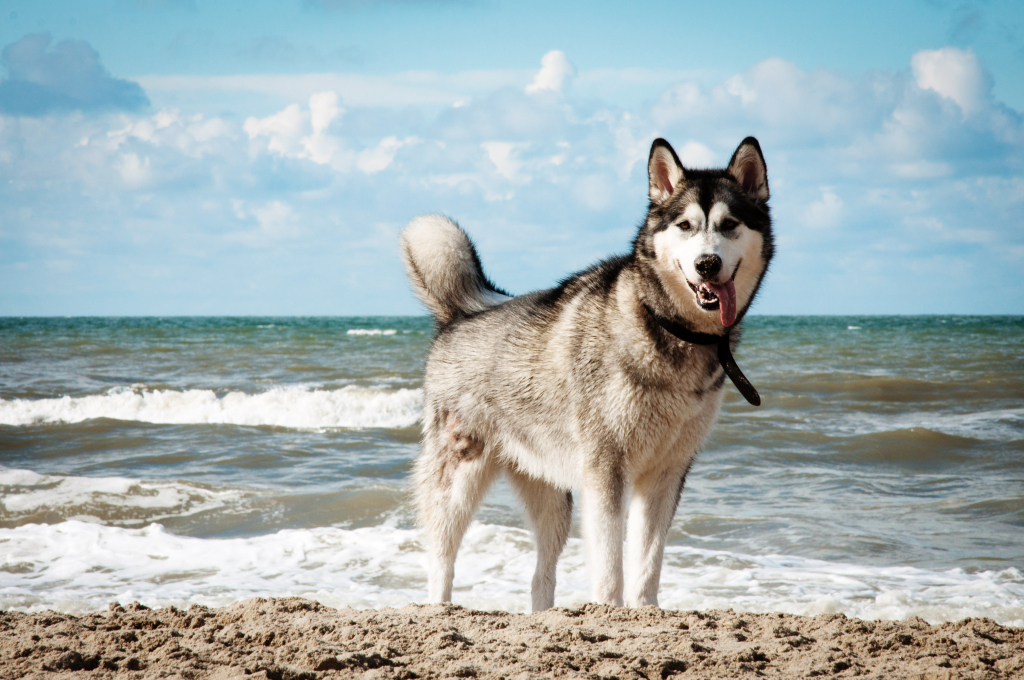 stockvault-siberian-husky-dog-on-beach131807  Servicii stockvault siberian husky dog on beach131807